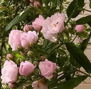 ピンクのバラは.jpg